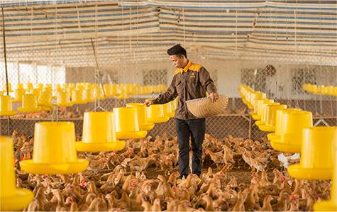 Chăn nuôi gà Rita