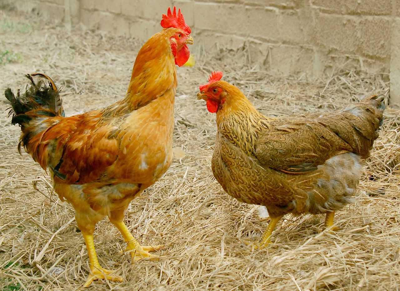 Kỹ thuật nuôi gà Lương Phượng - Cách nuôi gà Lương Phượng