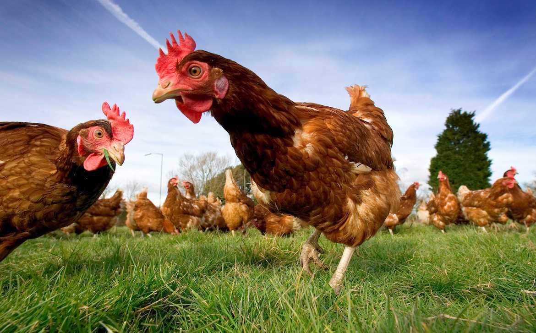 Hướng phát triển cho chăn nuôi gà