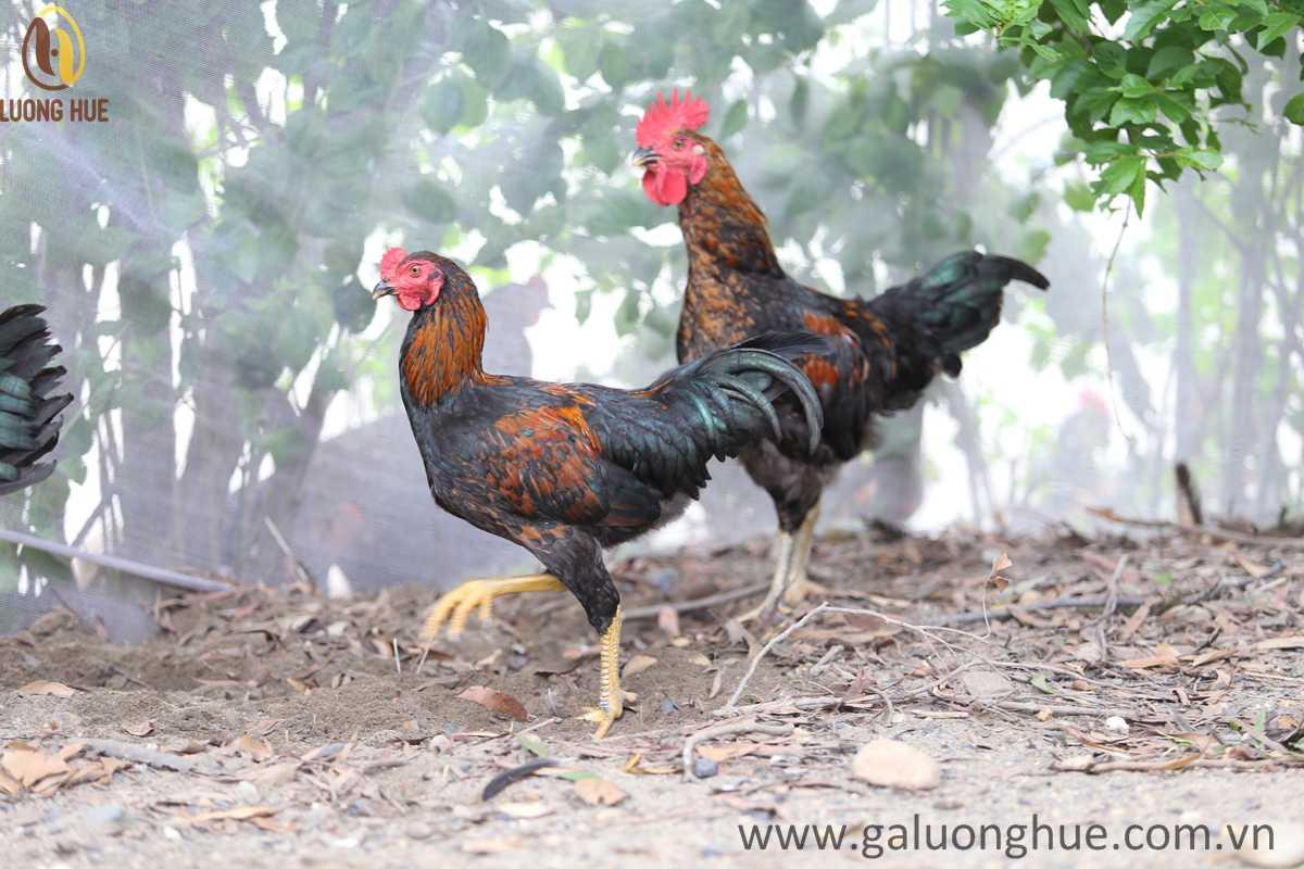 Chăn nuôi gà nhỏ lẻ