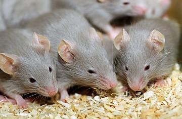 Chuột gặm nhấm