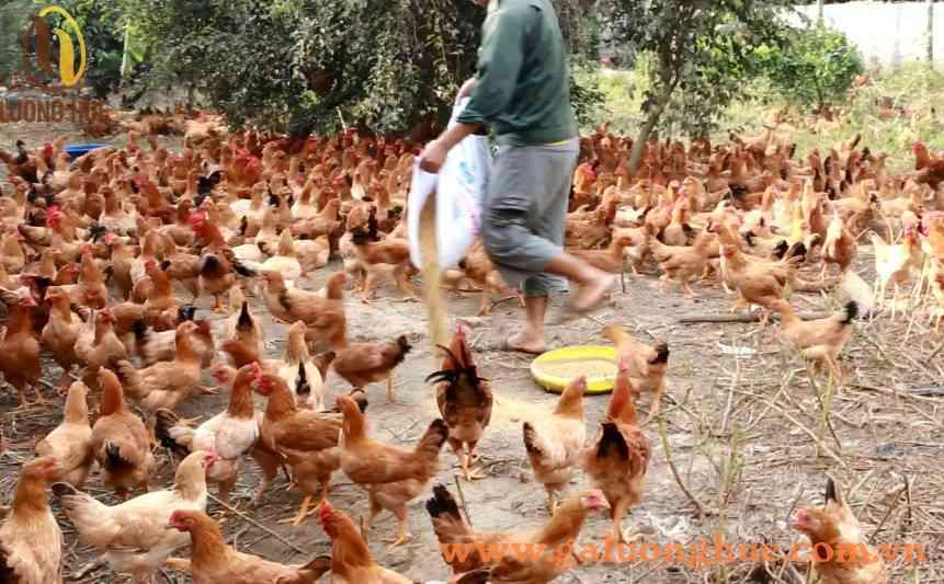 Hướng dẫn chăn nuôi gà thả vườn - cách nuôi gà thả vườn