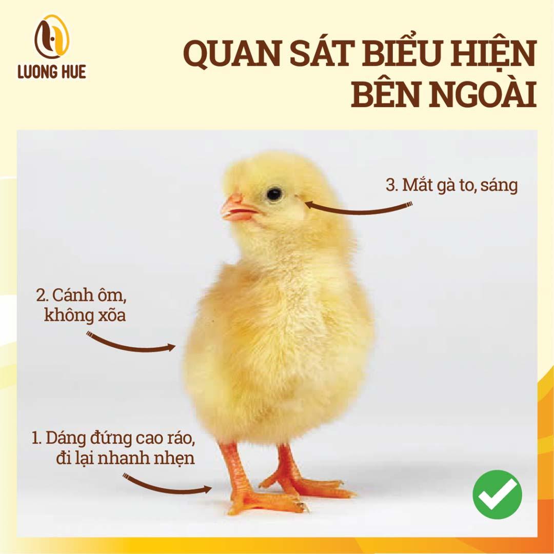 Biểu hiệu bên ngoài gà con